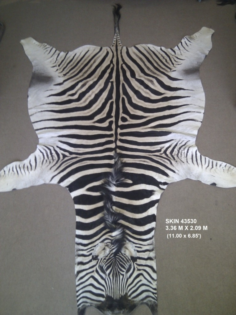 Astonishing Zebra Skin Rug With Skin Rug Also Rug Animal Print Rug For Living Room Rug Ideas